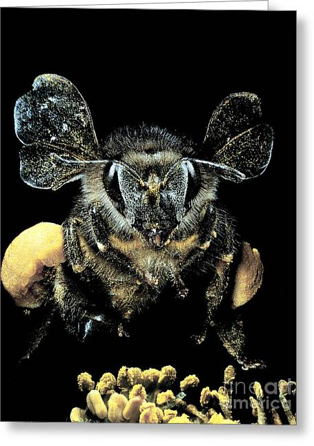 Bee Loaded With Pollen Greeting Card by Darwin Dale