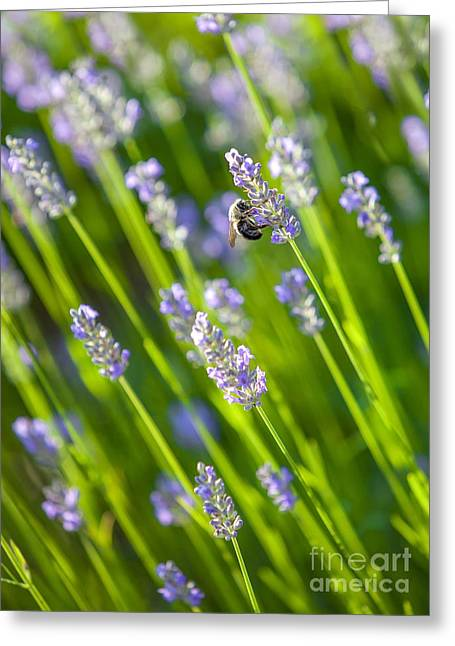 Bee On A Lavender Flower Greeting Card by Diane Diederich