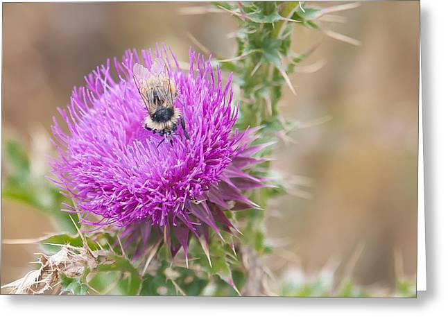 Bee On A Thistle Flower Greeting Card by Todd Soderstrom