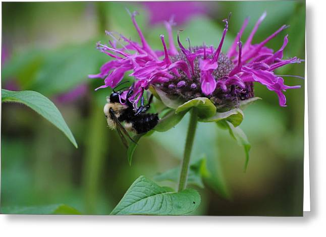 Bee On Bee Balm Greeting Card by Robert  Moss