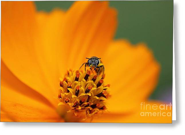 Bee On Cosmo Greeting Card by Lisa L Silva