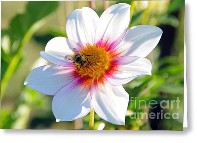 Bee On Dahlia Greeting Card