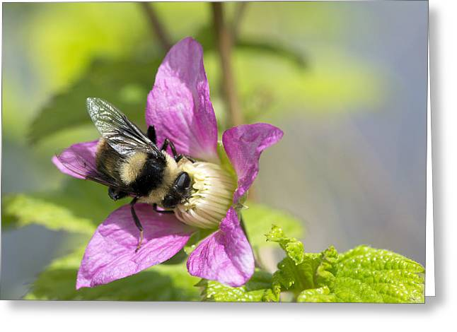 Bee On Flower Greeting Card by Michele Wright
