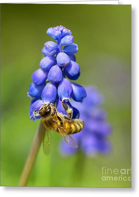 Bee On Grape Hyacinth Greeting Card