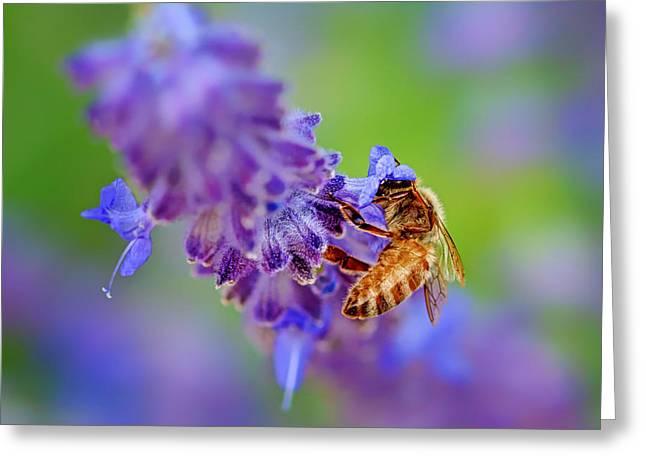 Bee On Russian Sage Greeting Card