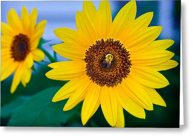 Bee On Sunflower Greeting Card by Michael Fisher