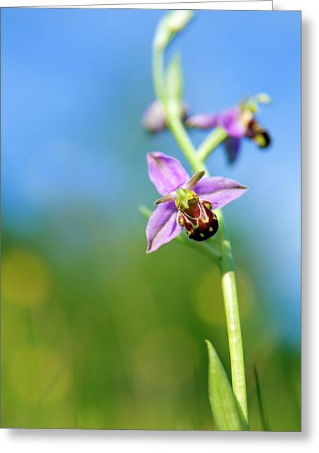 Bee Orchid Flower Greeting Card by Alex Hyde