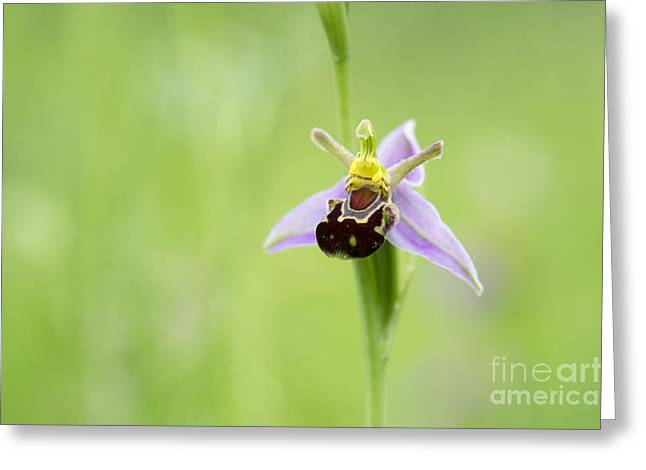 Bee Orchid Greeting Card by Tim Gainey
