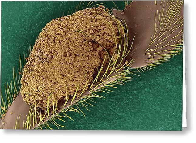 Bee Pollen Basket On Rear Leg Greeting Card