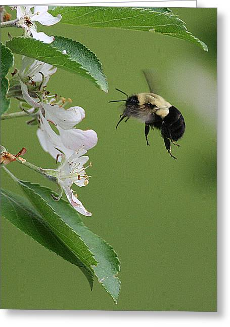 Greeting Card featuring the photograph Bee With Apple Blossoms by William Selander