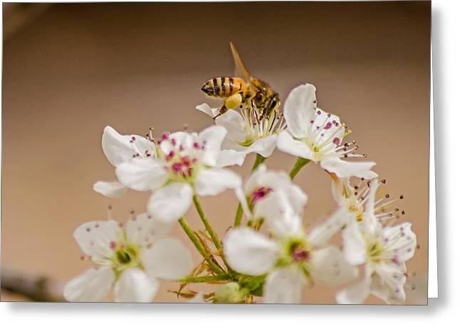 Bee Working The Bradford Pear 4 Greeting Card