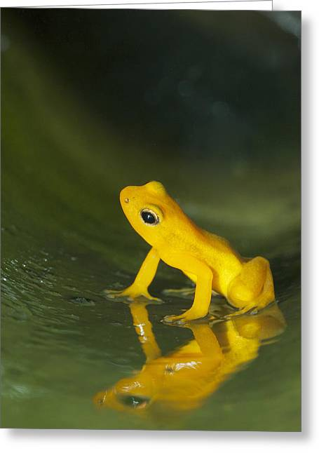 Beebes Rocket Frog In Bromeliad Greeting Card by Kevin Schafer