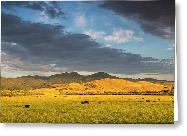 Beef Cattle Graze In Pasture At Sunrise Greeting Card