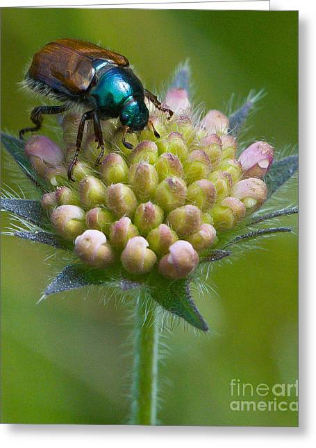 Beetle Sitting On Flower Greeting Card