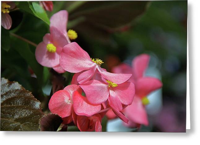 Begonia Beauty Greeting Card by Ed  Riche