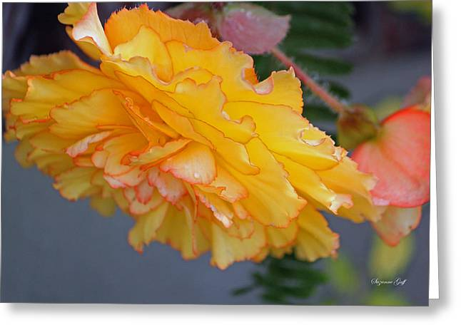 Begonia Beauty Greeting Card by Suzanne Gaff