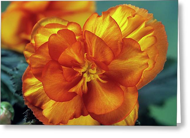 Begonia (begonia Tuberhybrida 'picotee') Greeting Card by Ann Pickford/science Photo Library