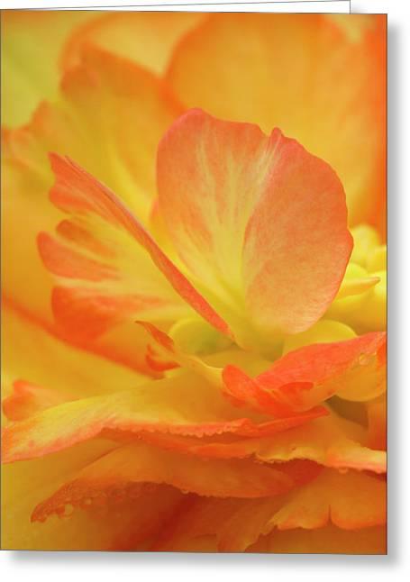Begonia Close-up Greeting Card by Jaynes Gallery