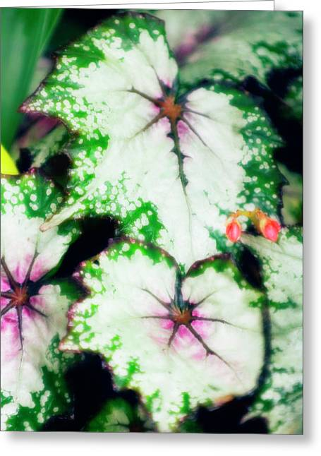 Begonia Leaves (begonia 'uncle Remus') Greeting Card by Maria Mosolova/science Photo Library