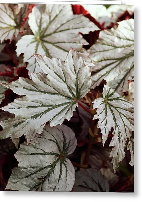 Begonia 'looking Glass' Greeting Card by Maria Mosolova
