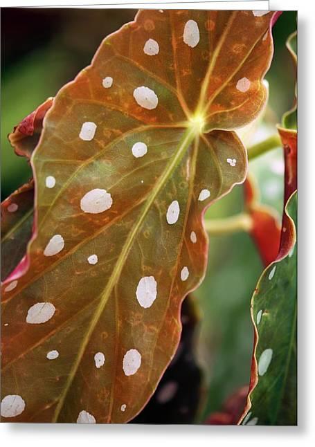 Begonia Maculata 'wightii' Greeting Card