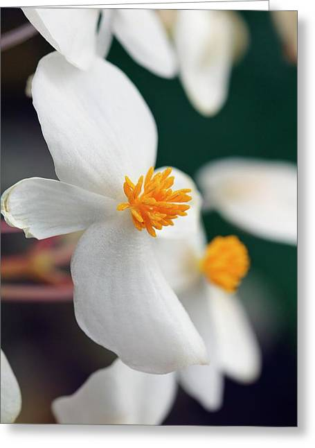 Begonia Minor Greeting Card by Geoff Kidd/science Photo Library