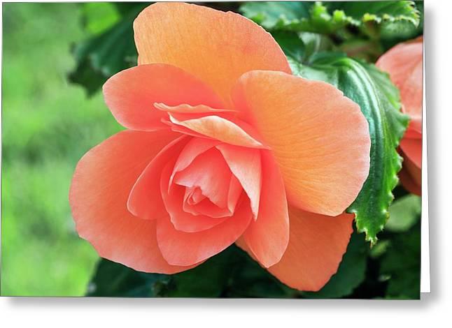 Begonia 'non-stop Pink' Greeting Card