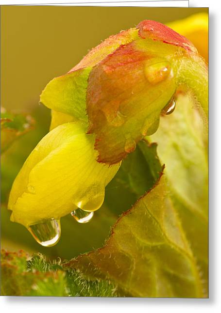 Begonia Raindrops  Greeting Card
