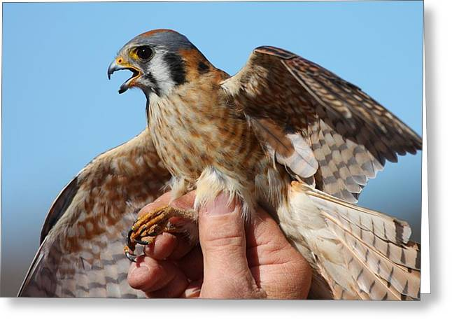 Greeting Card featuring the photograph Behold The American Kestrel by Nathan Rupert