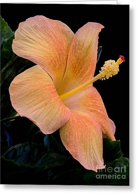 Beige Hibiscus Greeting Card by Zina Stromberg