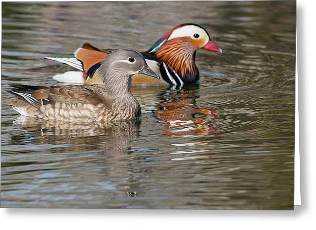 Beijing, China, Mating Pair Of Mandarin Greeting Card by Alice Garland