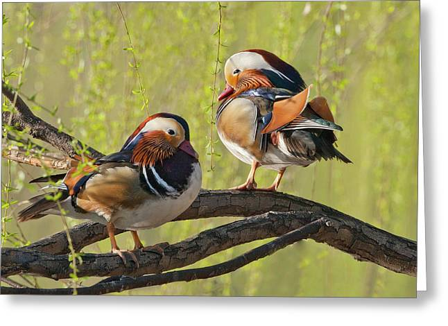 Beijing, China, Two Male Mandarin Duck Greeting Card by Alice Garland