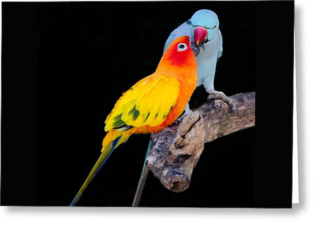 Sun Conure And Ring Neck Parakeet 2 Greeting Card