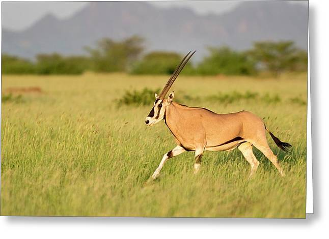 Beisa Oryx Running In Awash National Park Greeting Card by Tony Camacho