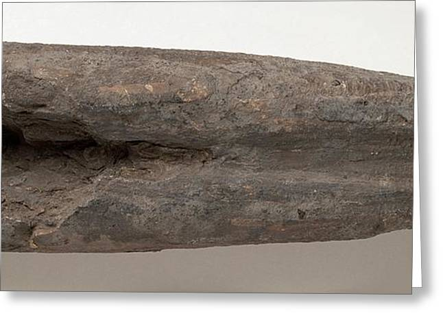 Belemnite Shell Fossilised In Clay Greeting Card by Dorling Kindersley/uig
