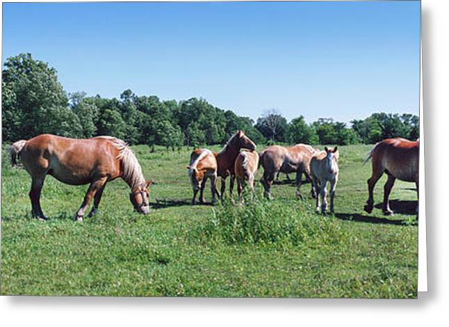Belgium Horses Grazing In Field Greeting Card by Panoramic Images