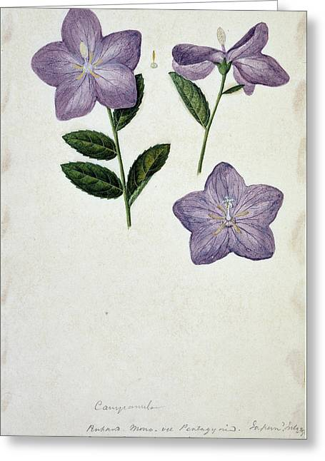 Bellflower Greeting Card by Natural History Museum, London/science Photo Library