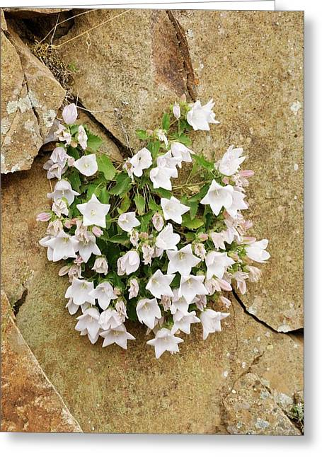 Bellflowers (campanula Betulifolia) Greeting Card