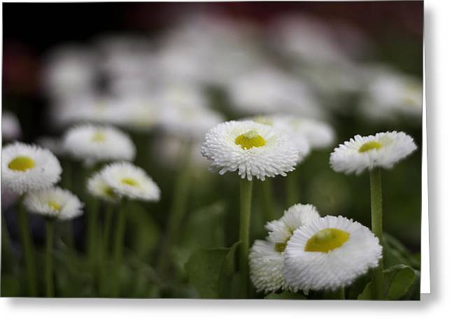 Bellis Perennis Greeting Card by Lesley Rigg