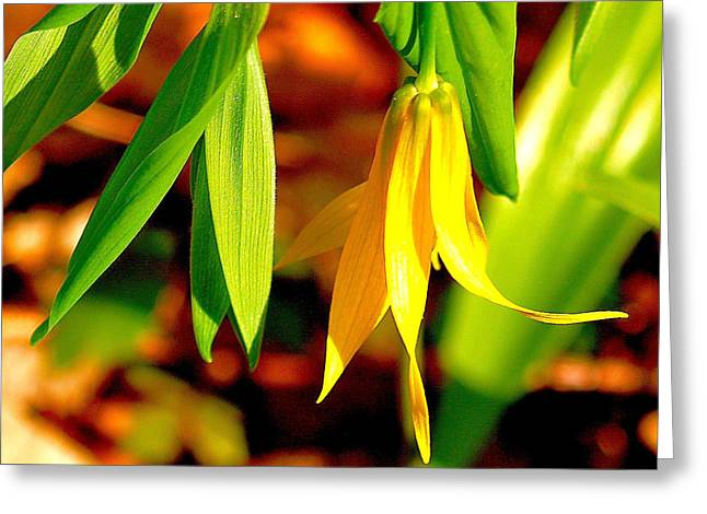 Bellwort On Display Greeting Card