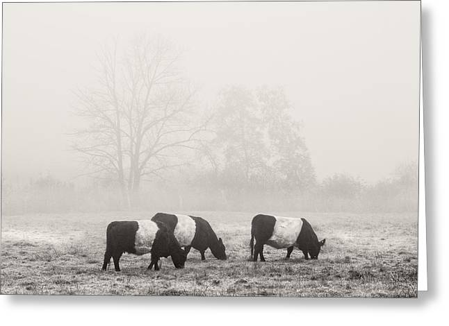 Belted Galloway Cows On Foggy Farm Field In Maine Greeting Card