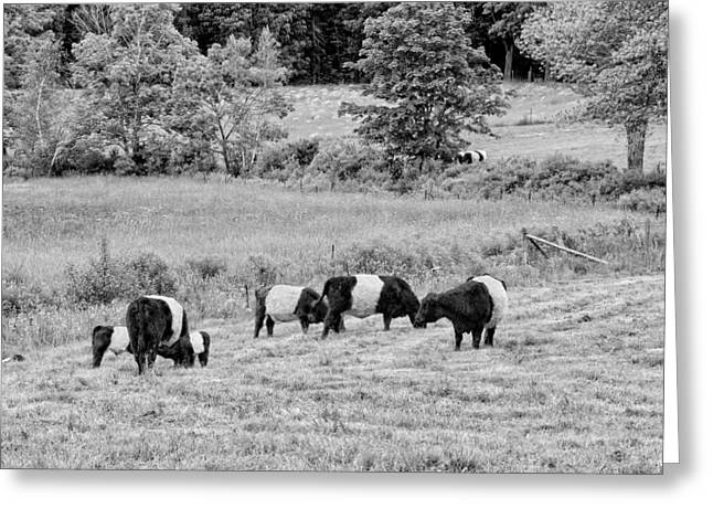 Belted Galloway Cows Rockport Maine Black Andc White Photograph Greeting Card by Keith Webber Jr