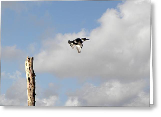 Belted Kingfisher In Flight Greeting Card