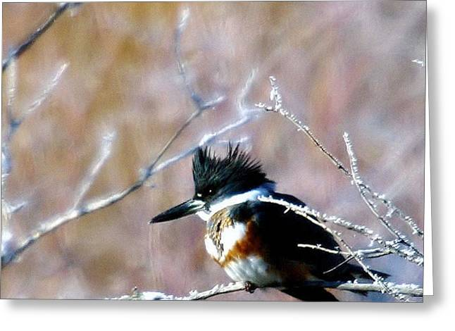 Belted Kingfisher  Greeting Card by Jeff Swan