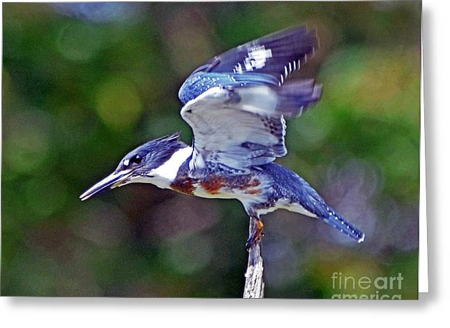 Belted Kingfisher Greeting Card by Rodney Campbell