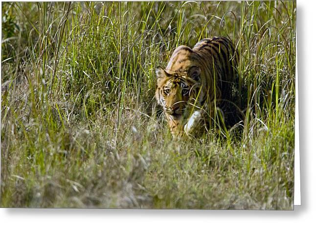 Bengal Tiger Panthera Tigris Tigris Cub Greeting Card by Panoramic Images