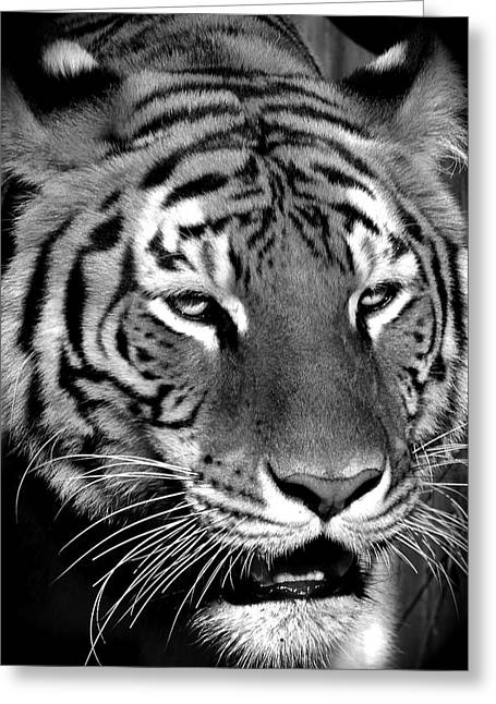 Bengal Tiger In Black And White Greeting Card by Venetia Featherstone-Witty