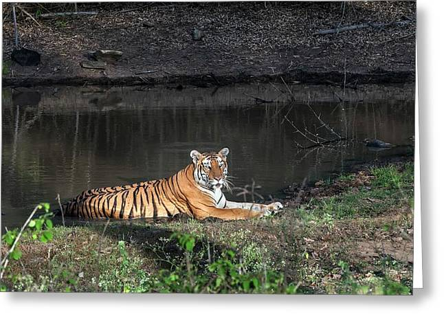 Bengal Tigress Resting In A Pool Greeting Card