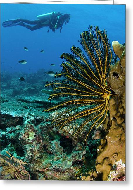Bennett's Feather Star (oxycomanthus Greeting Card by Pete Oxford