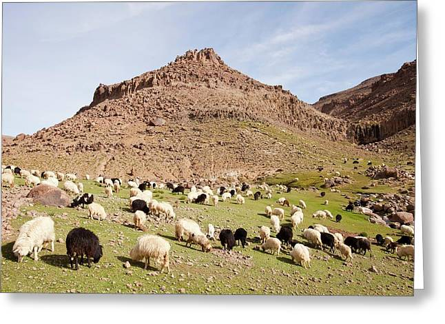 Berber Flock Of Sheep And Goats Greeting Card by Ashley Cooper